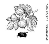 fig branch vector drawing. hand ... | Shutterstock .eps vector #1057267592