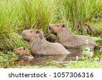 capybara  hydrochaeris...   Shutterstock . vector #1057306316