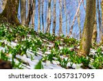 snowdrops in the snow at...   Shutterstock . vector #1057317095