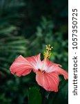 beautiful vertical shot of pink ... | Shutterstock . vector #1057350725