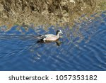 Small photo of An american widgeon swimming by on a sunny day