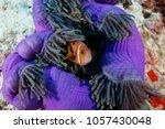 Clownfish   Anemonefish  Hidin...
