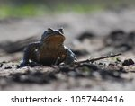 european common brown toad on... | Shutterstock . vector #1057440416