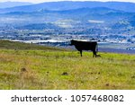 cow standing on a hill  morgan... | Shutterstock . vector #1057468082