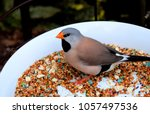 the long tailed finch  poephila ...   Shutterstock . vector #1057497536