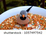 the long tailed finch  poephila ...   Shutterstock . vector #1057497542