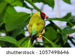 the gouldian finch  erythrura... | Shutterstock . vector #1057498646