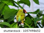 the gouldian finch  erythrura... | Shutterstock . vector #1057498652