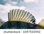 dorsal fin of a perch  back... | Shutterstock . vector #1057533542