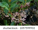 Small photo of Sambucus simpsonii Rehder American elder