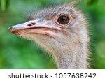 ostrich bird head and neck... | Shutterstock . vector #1057638242