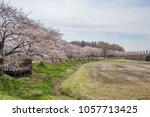 cherry blossoms along the... | Shutterstock . vector #1057713425