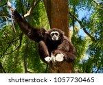 white handed gibbon sitting in... | Shutterstock . vector #1057730465