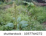 Small photo of Spiny Amaranth or Amaranthus Spinosus in Thailand