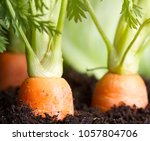carrot vegetable grows in the... | Shutterstock . vector #1057804706