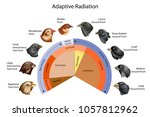 Education Chart of Biology for Adaptive Radiation of Galapagos finches Diagram. Vector illustration.