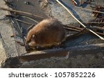 Small photo of Big adult ondatra on the industrial embankment