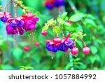 Flowering Purple Fuchsia.