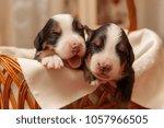 puppies bernese sennenhund... | Shutterstock . vector #1057966505