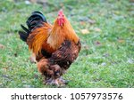 Small photo of A big roostert. The Brahma breed has several subspecies. This meat and decorative breed is prevalent, mainly in the CIS countries.