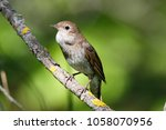 thrush nightingale  luscinia... | Shutterstock . vector #1058070956