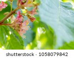 beautiful pink chestnut blossom.... | Shutterstock . vector #1058079842