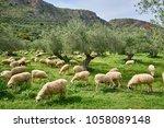 sheep flock in olive grove in... | Shutterstock . vector #1058089148