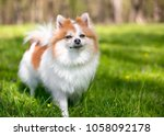 a red and white pomeranian dog... | Shutterstock . vector #1058092178