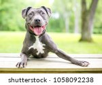 a happy blue and white pit bull ... | Shutterstock . vector #1058092238