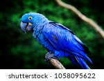 Blue And Yellow Hyacinth Macaw...