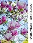 Beautiful Magnolia Flowers In ...