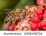 Small photo of africanized bee on flower