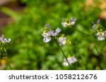dainty small two lipped blooms... | Shutterstock . vector #1058212676