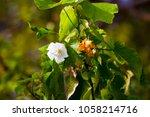 delicate dainty fragrant white... | Shutterstock . vector #1058214716