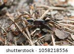 Small photo of Alopecosa wolf spider
