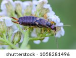 an unusual insect named earwig... | Shutterstock . vector #1058281496