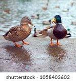 family of beautiful mallards in ... | Shutterstock . vector #1058403602