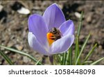 close up of busy bee on spring...   Shutterstock . vector #1058448098