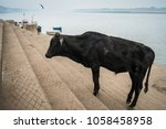 The Black Cow Stands On The...