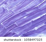 striated muscle fibers of the...   Shutterstock . vector #1058497325