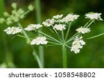 detail of white flowers cow... | Shutterstock . vector #1058548802