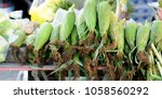sweet corn fresh  | Shutterstock . vector #1058560292