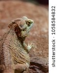 Small photo of Pogona vitticeps, the central (or inland) bearded dragon, is a species of agamid lizard