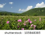 Stock photo the famous rose fields in the thracian valley near kazanlak bulgaria 105868385
