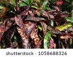Small photo of Joseph's coat plant