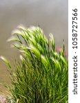 eldorado feather reed grass ...