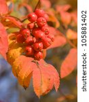 The Branch Of Red Ashberry.