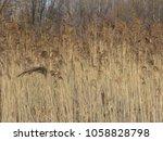 dried stalks of reeds. swamp...   Shutterstock . vector #1058828798