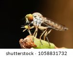 macro shot of a robber fly as... | Shutterstock . vector #1058831732