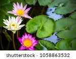 white and pink water lilies or... | Shutterstock . vector #1058863532